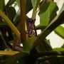 Plumeria rubra 'Hilo Beauty' - Hilo Beauty Plumeria  (Plumeria rubra 'Hilo Beauty' - Hilo Beauty Plumeria)