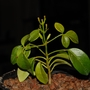 Pandorea jasminoides (Pandorea jasminoides (Bower Vine))