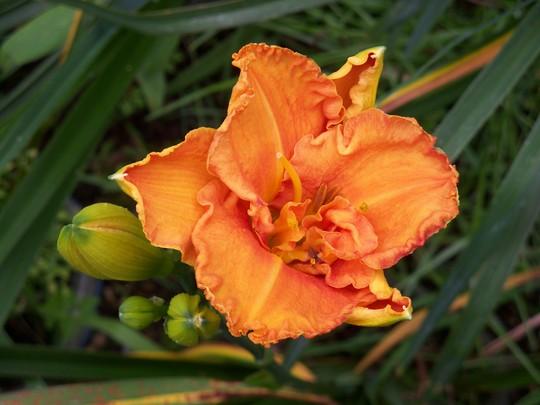 Daylily - Joy of Life Sdlg (Hemerocallis)