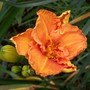 Daylily - Joy of Life Sdlg (Hemerocallis)