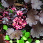 Saxifraga fortunei Black ruby (Saxifraga fortunei Black ruby)