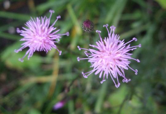 Serratula seoanei (Serratula seoanei)