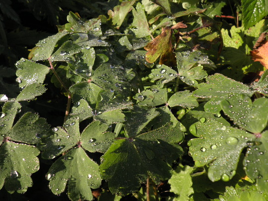 Dew drops 2 - On the leaves of