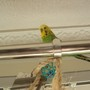 Buster Budgie