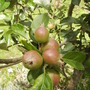 Baby  Apples on Family Apple Tree 06.08 (Malus domestica (Vistabile))