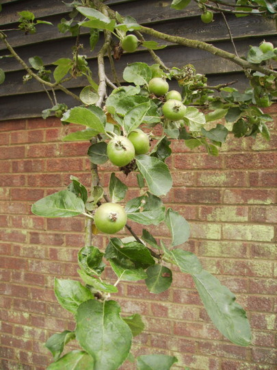 Baby Bramley Apples 06.08 (Malus domestica)