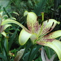 Mid-Spring Downunder - Asiatic Lily 'Golden Stone' blooming (Asiatic Lilium)