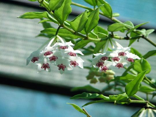 Mid-Spring Downunder - Hoya bella blooming at last (Hoya bella (Miniature wax plant))