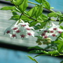 Mid-Spring Downunder - Hoya bella blooming at last (Hoya bella (Miniature wax plant))