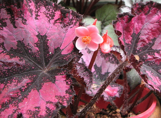 Mid-Spring Downunder - Rex Begonia blooming (Begonia rex (King begonia))