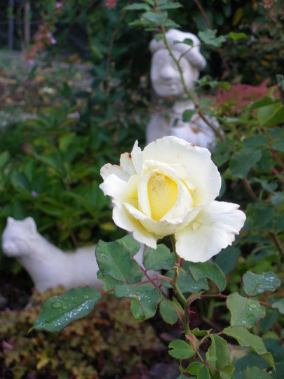 A Solitary Rose