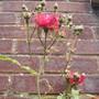 Rose Climber Paul's Scarlet' Close Up 06.08 (Rosa multiflora (?) climber 'Pauls' Scarlet')