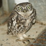 Little_owl_011