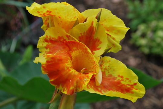Canna Lily 'Picasso'
