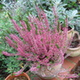 Heather Pot (Brachyglottis Sunshine 'Senecio')