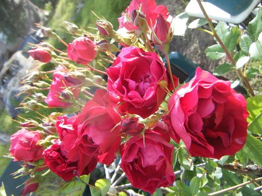 Rose, Adelaide Hoodless (Rosa x 'Adelaide Hoodless Rose')