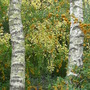 Silver Birches in November (Betula pendula (Silver birch))