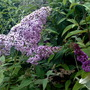 B.davidii Gulliver (Buddleja davidii (Butterfly bush))