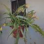 Epiphyllum 'Golden Charm' Blooming (Epiphyllum 'Golden Charm')
