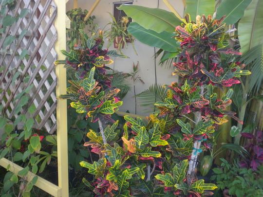 Codiaeum variegatum 'Angel Wing' - Angel Wing Croton (Codiaeum variegatum 'Angel Wing' - Angel Wing Croton)