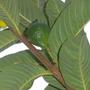 Psidium guajava  - Tropical Guava Fruit (Psidium guajava  - Tropical Guava Fruit)