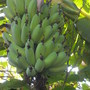 Musa 'Ice Cream' - Ice Cream Bananas  (Musa 'Ice Cream' - Ice Cream Bananas)