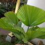 Licuala peltata 'Sumawongii' - Sumawong Palm (Licuala peltata 'Sumawongii' - Sumawong Palm)