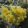 Ginkgo biloba 'Everton Broom' (common name; Maidenhair tree)