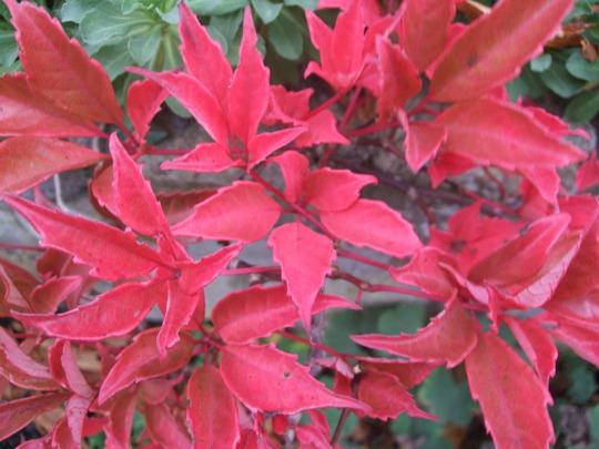 Parthenocissus thomsonii (Parthenocissus thomsonii)