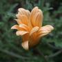 Arctotis 'Apricot' (Arctotis)