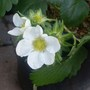 Strawberry plant flowering again