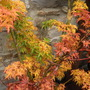 Colours of the shishigashira (Acer palmatum (Japanese maple))