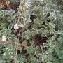 Plectranthus fosteri 'Marginatus' (Plectranthus fosteri 'Marginatus')
