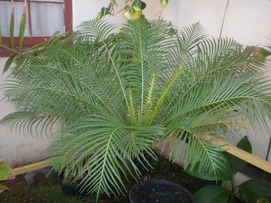 Blechnum gibbum - Dwarf Fijian Tree Fern, Silver Lady Fern (Blechnum gibbum)