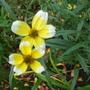 _bidens_aurea_hannay_s_lemon_drop