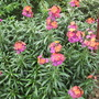 Erysimum Winter Orchid this is really doing what it should this winter (Erysimum Winter Orchid)