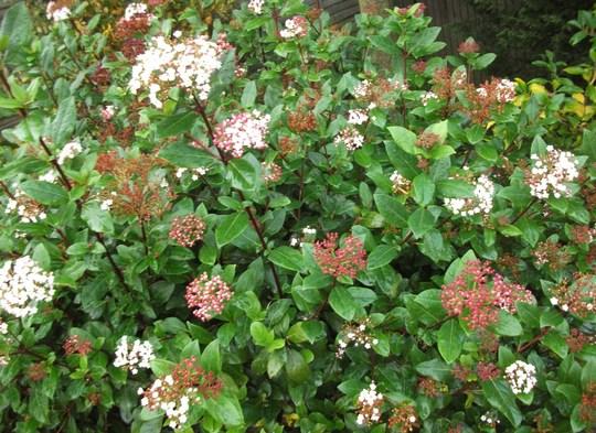 Viburnum Tinus a great year for flowers (Viburnum tinus (Laurustinus))