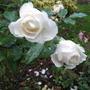 Rose_margaret_merril