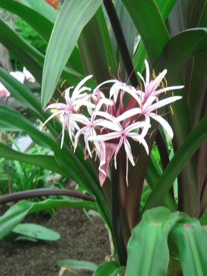 Southport Flower Show 2007 - Amaryllidaceae flower head (Amaryllidaceae ornum Amabile Sumatra)