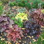 Heucheras today (Heuchera)