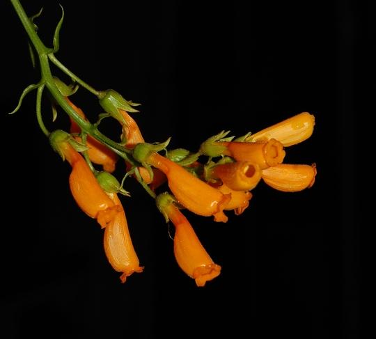 Eccremocarpus scaber (Eccremocarpus scaber (Chilean glory flower))
