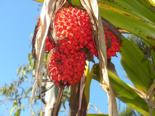 Pandanus ultilis - Screw Pine Ripe Fruit (Pandanus ultilis - Screw Pine)