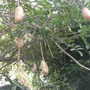 Kigelia africana - Sausage Tree Pods (Kigelia africana - Sausage Tree)