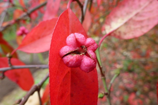 Spindleberry  (Euonymus    ( Red Cascade ))