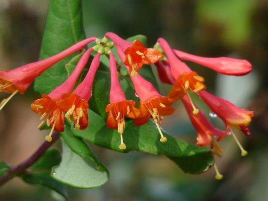 Lonicera brownii - Mandarin Honeysuckle (Lonicera brownii)