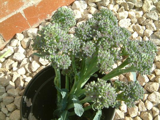 purple sprouting brocolli