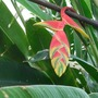 Heliconia - 1/2