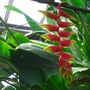 Heliconia - 2/2