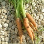our first carrots