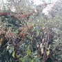 Pyracantha behind Euonymus Reverting Rootstock